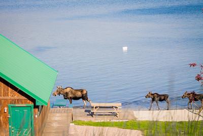 Montana Moose Family