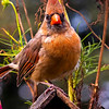 Northern Cardinal stares at the camera from a perch on top of a Bird House