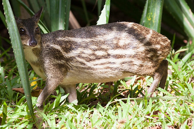 Shy Mouse Deer