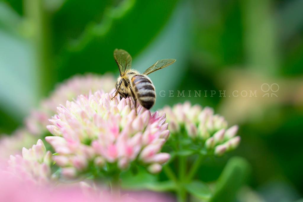 Macro shot of honey bee on a Pink Yarrow plant.