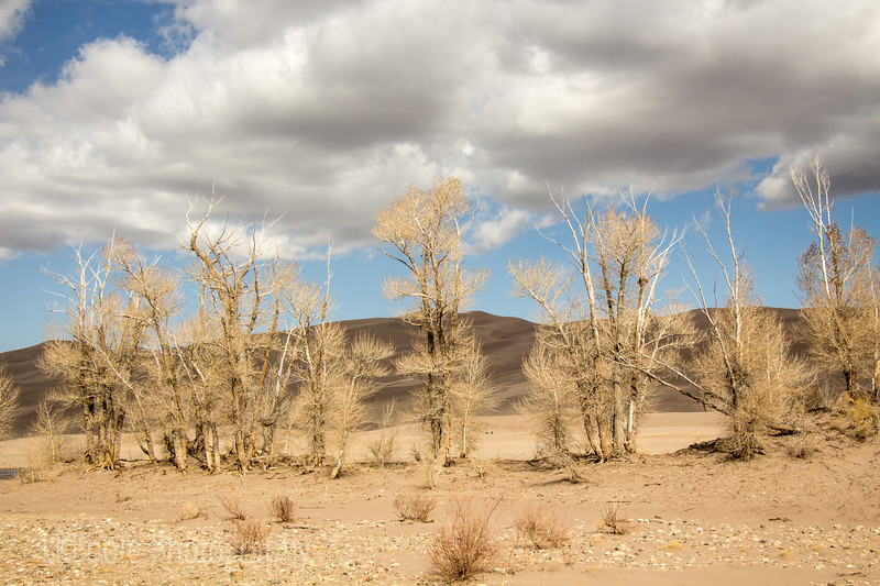 Sand Dunes and Trees