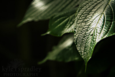 Cacao plant leaves are lit up.  Photo by Kyle Spradley | www.kspradleyphoto.com