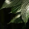 """Cacao plant leaves are lit up.<br /> <br /> Photo by Kyle Spradley 