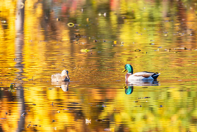 Mallards in the Fall