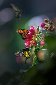 "ETC-3431  ""Multiple Butterflies"""