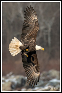 Eagle hunt.