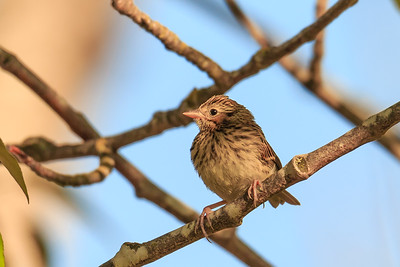 Young Savannah Sparrow
