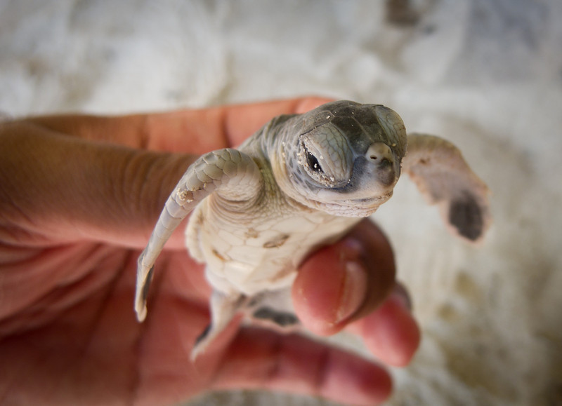 |Baby Green Turtle|