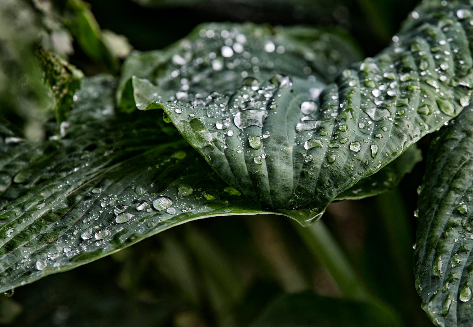Hostra Leaf.