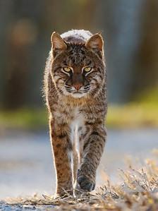 Bobcat  at Lake Apopka.
