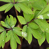 Bleeding heart foliage
