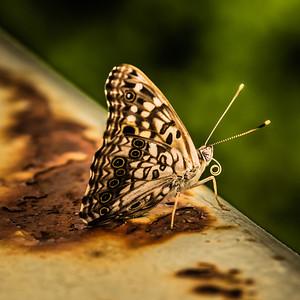 ButterflyRadnor Park NashvilleTN '18 LR-7254