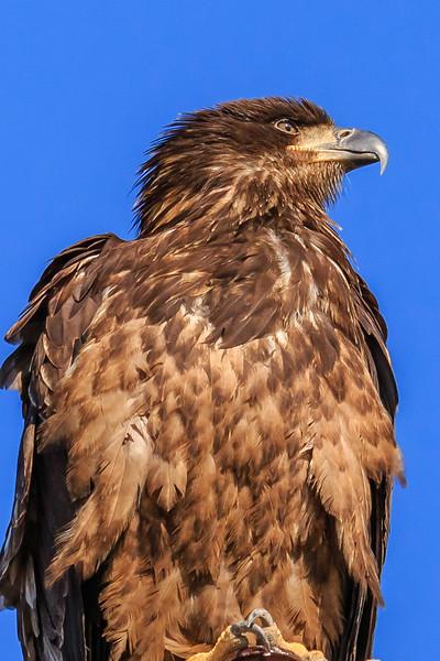 Juvenile Bald Eagle Portrait