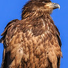 Juvenile Bald Eagle Portrait