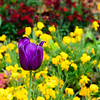 Negrita is a classic purple tulip, that looks wonderful in huge drifts