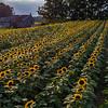 Farmhouse in a Sunflower Field 9/2/18