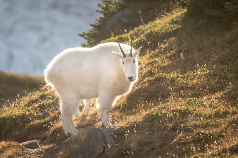 Halo Goat