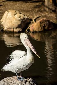 Pelican Sunning