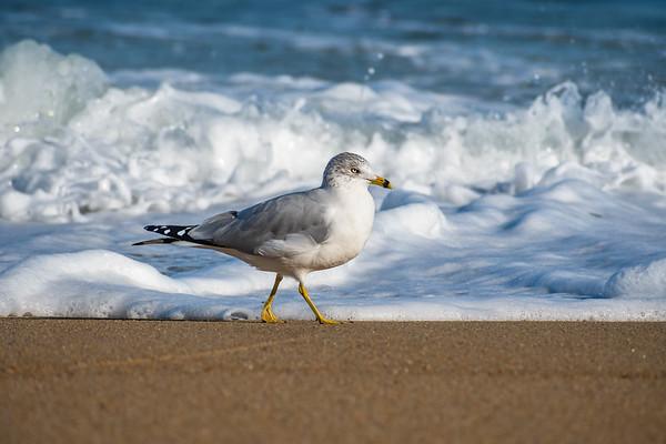 Gull 2295