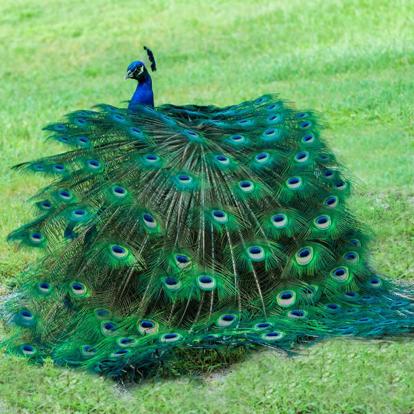 "ETC-3356a  ""Peacock Dance - Natural"""