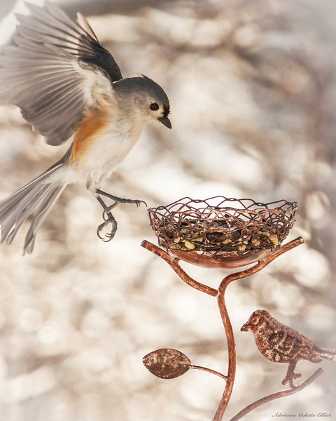 Tufted Titmouse Landing