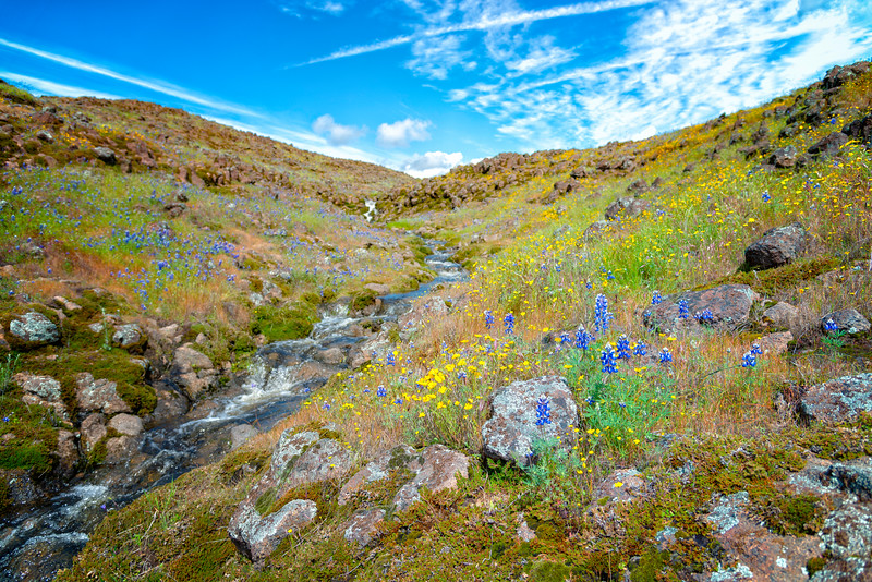 Lupins - Table Mountain-17