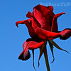 Frontyard Rose
