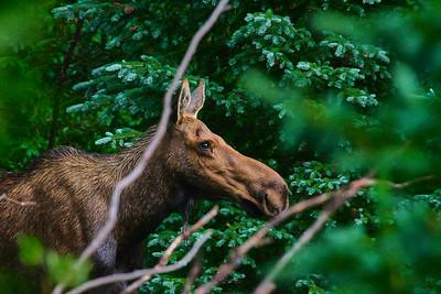 Female moose (Alces alces)