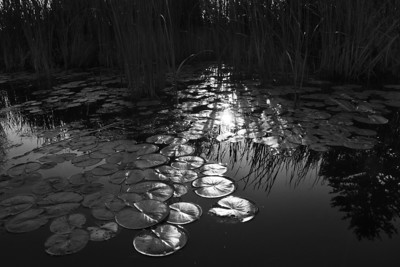 Lily Pads (2)