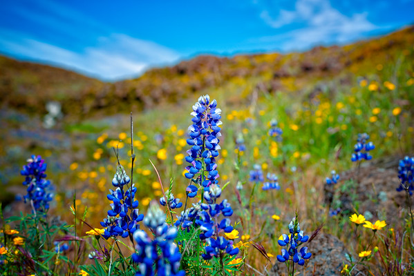 Lupins - Table Mountain-20
