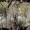 Fallen Birch Log