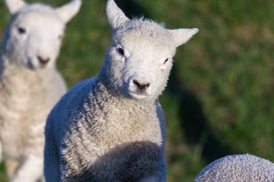 Lambs frolicking 2