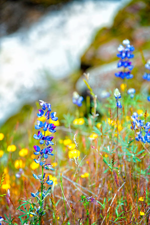 Lupins - Table Mountain-15
