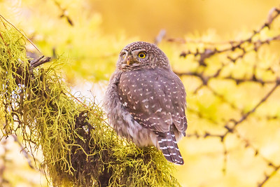 Northern Pygmy Owl Profile