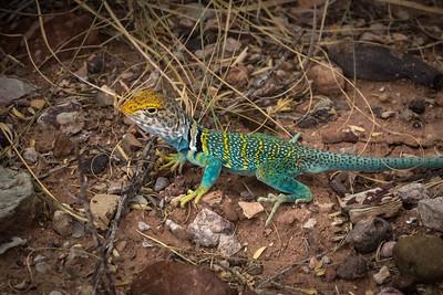 Homolovi Collared Lizard