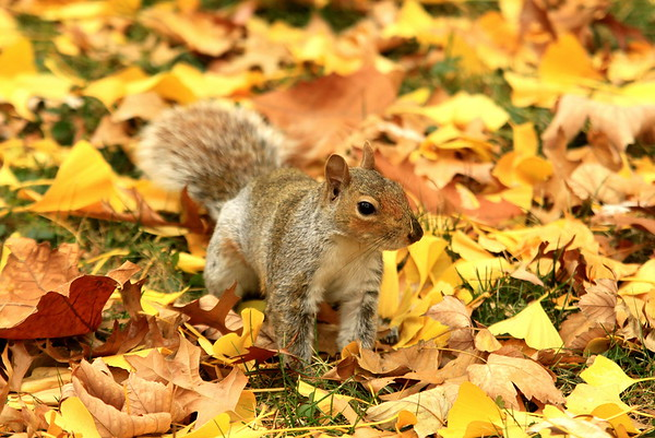 Eastern Gray Squirrel in Fall