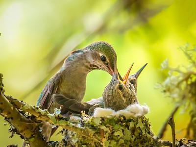 Mama Anna's Hummingbird