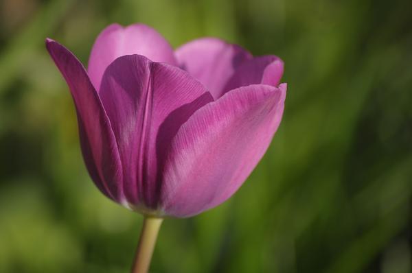 Lewes Tulip