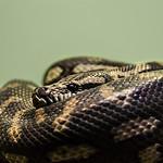 Slithery Snake