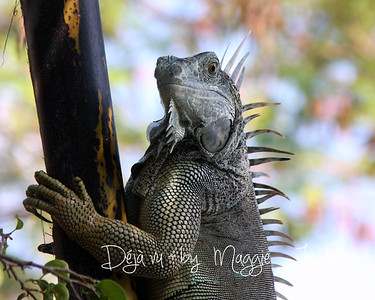 Iguana clinging a  coconut limb