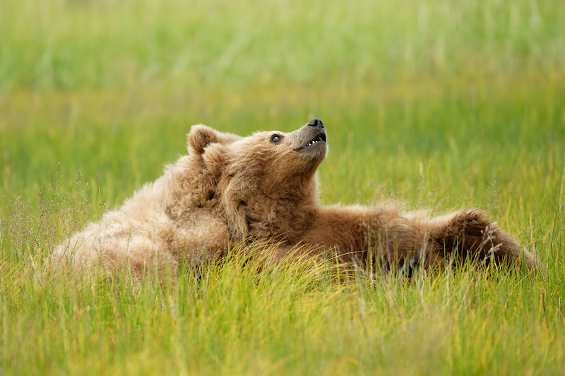 Alaska Grizzly Bears, Lake Clark National Park, Alaska