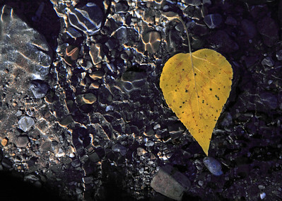 Aspen leaf in Kananskis River