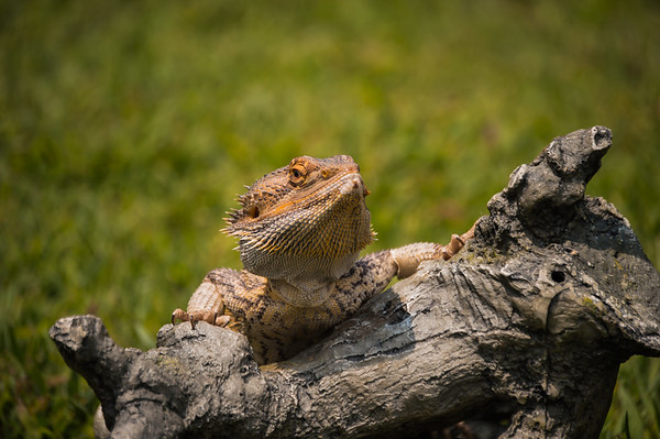 My neighbor's Bearded Dragon.