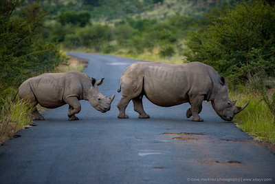 Rhinos Crossing