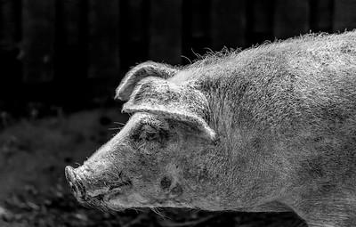 Dirt Cased Pig