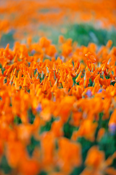 California Poppy Reserve, California