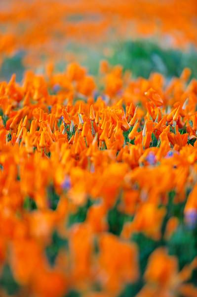 California Poppy Reserve, California