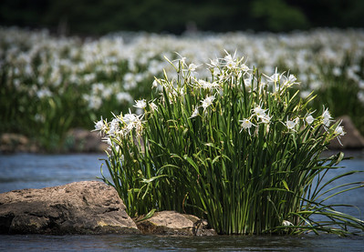 Catawba Spider Lillies