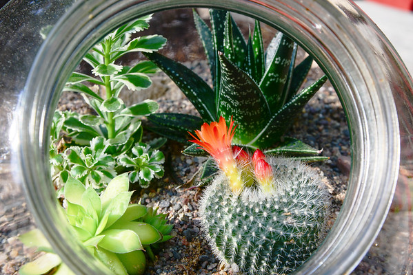 Sugar Bowl Cactus