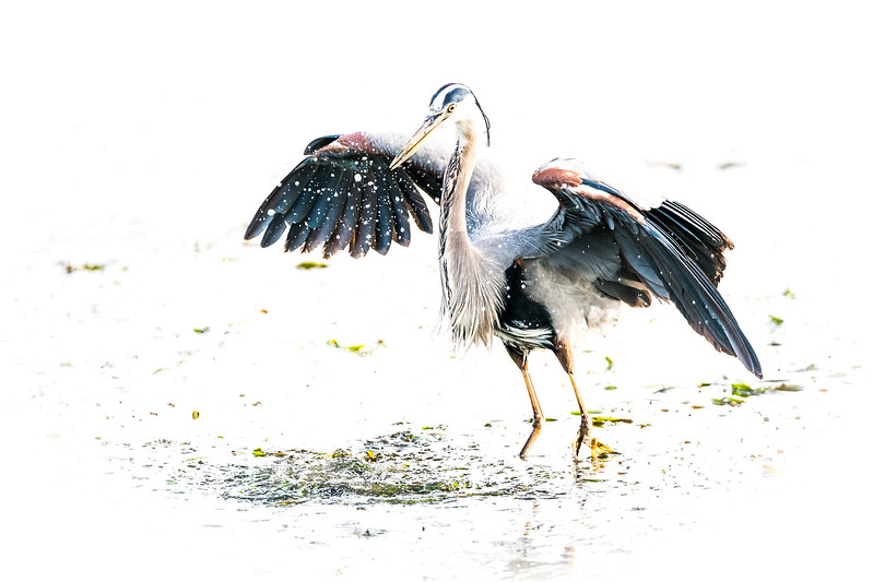 Great Blue Heron - high key nature photography